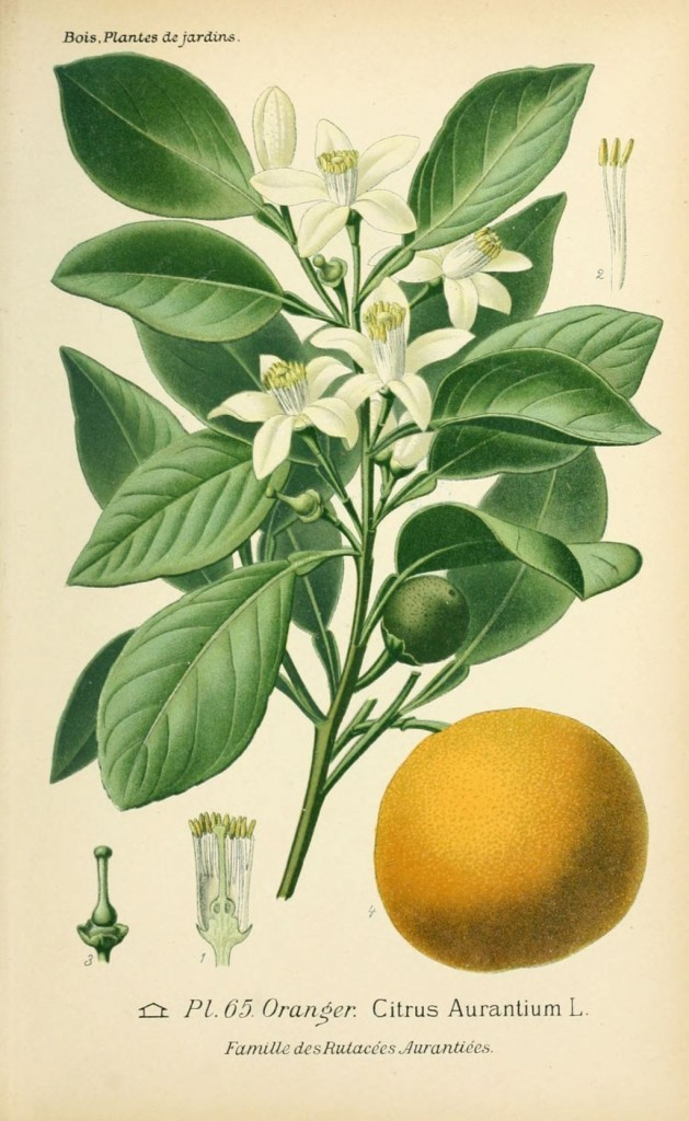 dessin-de-fleur-de-jardin-0133-oranger-citrus-aurantium-629x1024