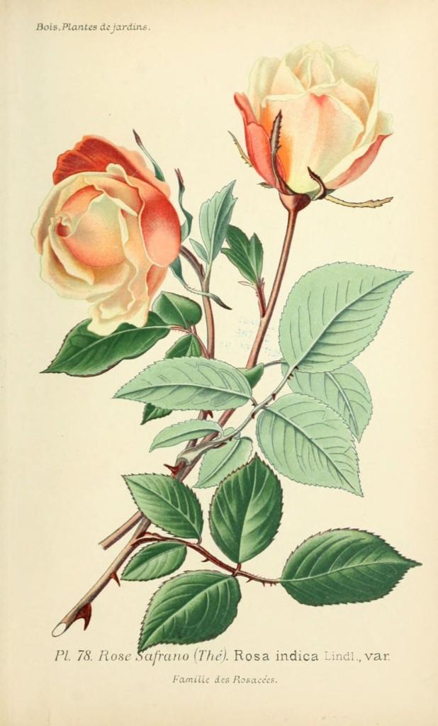 gravure_de_fleur_de_jardin_0159_rose_safrano_-_rosa_indica_var